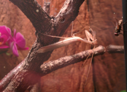 Miomantis paykullii adult male.png